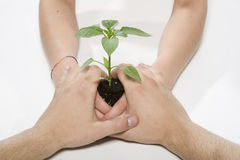 Hands with a plant. Green Royalty Free Stock Photo