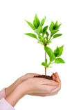 Hands and plant Royalty Free Stock Photo