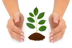 Hands and plant Stock Image