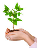 Hands and plant Royalty Free Stock Photos