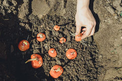 Hands planting bulb of gladiolus in garden Stock Image