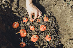 Hands planting bulb of gladiolus in garden Stock Photos