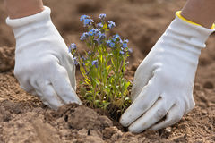 Hands planting forget-me-not in the garden. Hands in gloves planting forget-me-not in the garden Royalty Free Stock Photo