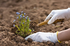 Hands planting forget-me-not. Hands in gloves planting forget-me-not in the garden Stock Photography