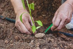 Hands planting a pepper seedling Royalty Free Stock Photography
