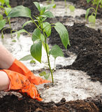 Hands planting pepper seedlings Royalty Free Stock Image