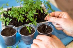 Hands planting plants and sprouts, seedling in pots with ground close up. Plant growing concept royalty free stock image