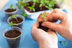 Hands planting plants and sprouts, seedling in pots with ground close up royalty free stock photography