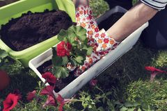 Hands planting red pelargonium. Woman`s hands putting flower in a pot. Leisure activity. Hobby stock images