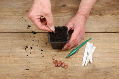 Hands planting a seed. Hands planting a runner bean seed into a plant pot full of compost on a wooden potting bench Stock Image