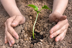 Hands planting seedling of cucumber Royalty Free Stock Photos