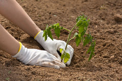 Hands planting seedling of tomato Royalty Free Stock Photography