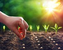 Hands Planting The Seeds. Into The Dirt stock photography