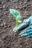 Hands planting a small young plant. Gardening as a hobby Stock Image