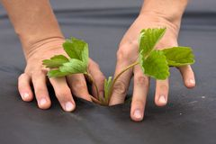 Hands planting strawberry seedling on the black mulch material. Hands planting strawberry seedling on the black nonwoven mulch material Stock Photo