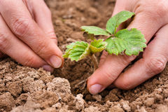 Hands planting strawberry seedling, closeup Royalty Free Stock Image