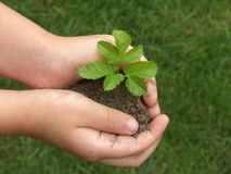Hands and plants. Children's hands holding small plant growing from soil Stock Image