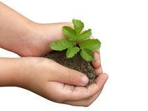 Hands and plants. Children's hands holding small plant growing from soil. Clipping path Royalty Free Stock Image