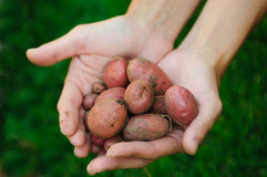 Hands & Potatoes Stock Images