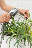 Hands pouring from the shower aloe plant Stock Photos