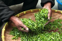 Hands processing tea leaves Royalty Free Stock Images