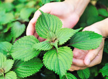 Hands protect coleus plants. In field Stock Images