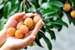Hands protect litchi fruits on tree Royalty Free Stock Photography