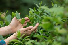 Hands protect tea leaves. In spring Royalty Free Stock Photos