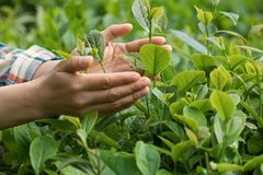 Hands protect tea leaves. In spring Royalty Free Stock Images