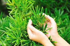 Hands protect yew podocarpus Royalty Free Stock Photography