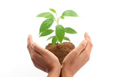 Hands protecting a baby plant Stock Photo