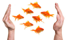 Hands protecting or catching goldfish Royalty Free Stock Photos