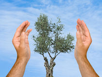 Hands protecting olive tree Stock Photography