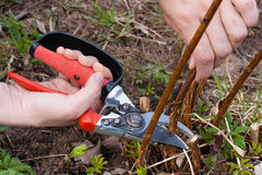 Hands pruning raspberry with secateurs, closeup Royalty Free Stock Photography