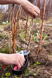 Hands pruning raspberry with secateurs Royalty Free Stock Photography