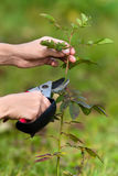 Hands pruning rose with secateurs Royalty Free Stock Photos