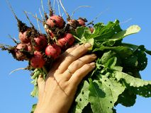 Hands with radishes. Farmer hands with bunch of radishes Royalty Free Stock Images
