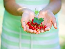Hands with redcurrant. Stock Images