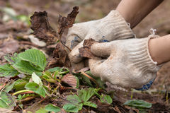 Hands removing old leaves from the strawberries in the garden Stock Photography