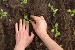 Hands growth young plant in the ground in the garden. Hands replant young plant in the soil in the garden outdoor. Ecology concept Stock Image