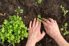 Hands replant young plant in the garden outdoor. Hands replant young plant in the soil in the garden outdoor. Ecology concept Royalty Free Stock Images