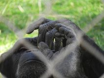 Hands of rescued chimpanzee. A rescued chimpanzee rests peacefully in his new home, in a Primates Rescue Center of Madrid, with fingers interlocked Stock Images