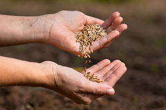 Hands with ripe rye grain Stock Image
