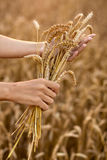 Hands and ripe wheat ears Royalty Free Stock Image