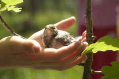 Hands saviours. Person holds a nestling in his hand Royalty Free Stock Images