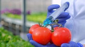 The hands of a scientist biologist in blue gloves close-up. The agronomist introduces a blue liquid into a tomato with a stock video footage