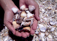 Hands with seashells Royalty Free Stock Images