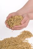 Hands seeding oats. On white background Royalty Free Stock Images