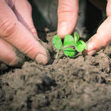 Hands seeding strawberry Royalty Free Stock Photo