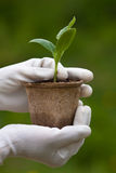 Hands with seedling of marrow ready to planting Stock Photo